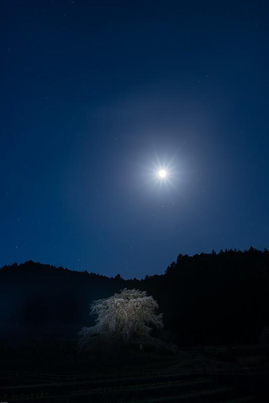 Moonlight & Cherry blossom *