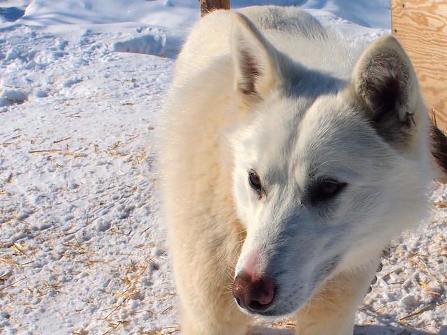 Wapusk Adventures sled dog