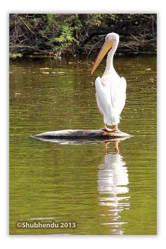 Pelican - 7 by ShubhenduPhotography