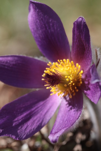 Pasque Flower by conniee4 aka Connie Etter