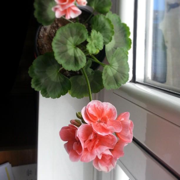 Geranios de mamá... muy floridos y contentos. #flowers