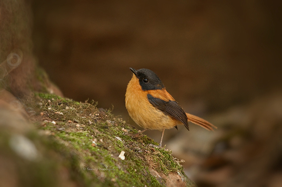 Black Orange Flycatcher