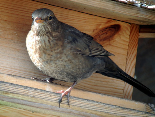 Female Eurasian Blackbird