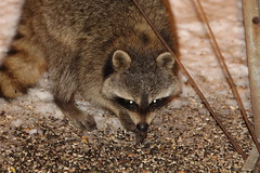 grey fox(0.0), animal(1.0), raccoon(1.0), mammal(1.0), fauna(1.0), close-up(1.0), viverridae(1.0), procyon(1.0), wildlife(1.0),