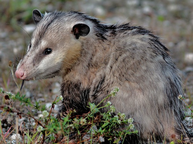 Opossum eating rat 20130408