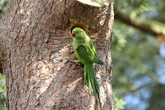 Ring-necked Parakeet investigating nest hole in Kew Gardens (7)