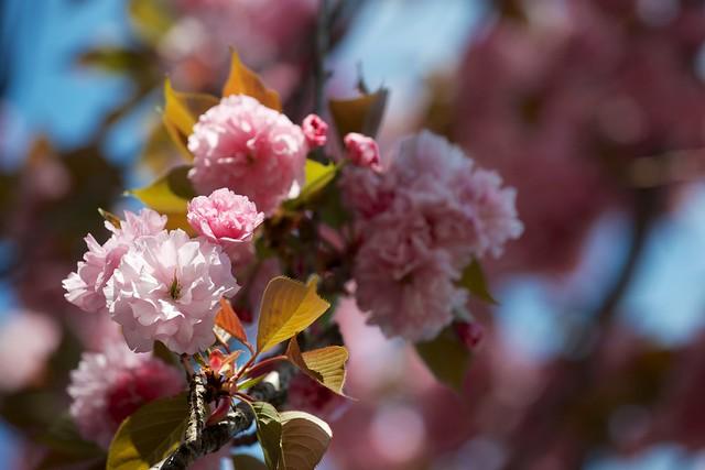 Photo:Prunus lannesiana Wils. cv. Sekiyama By houroumono