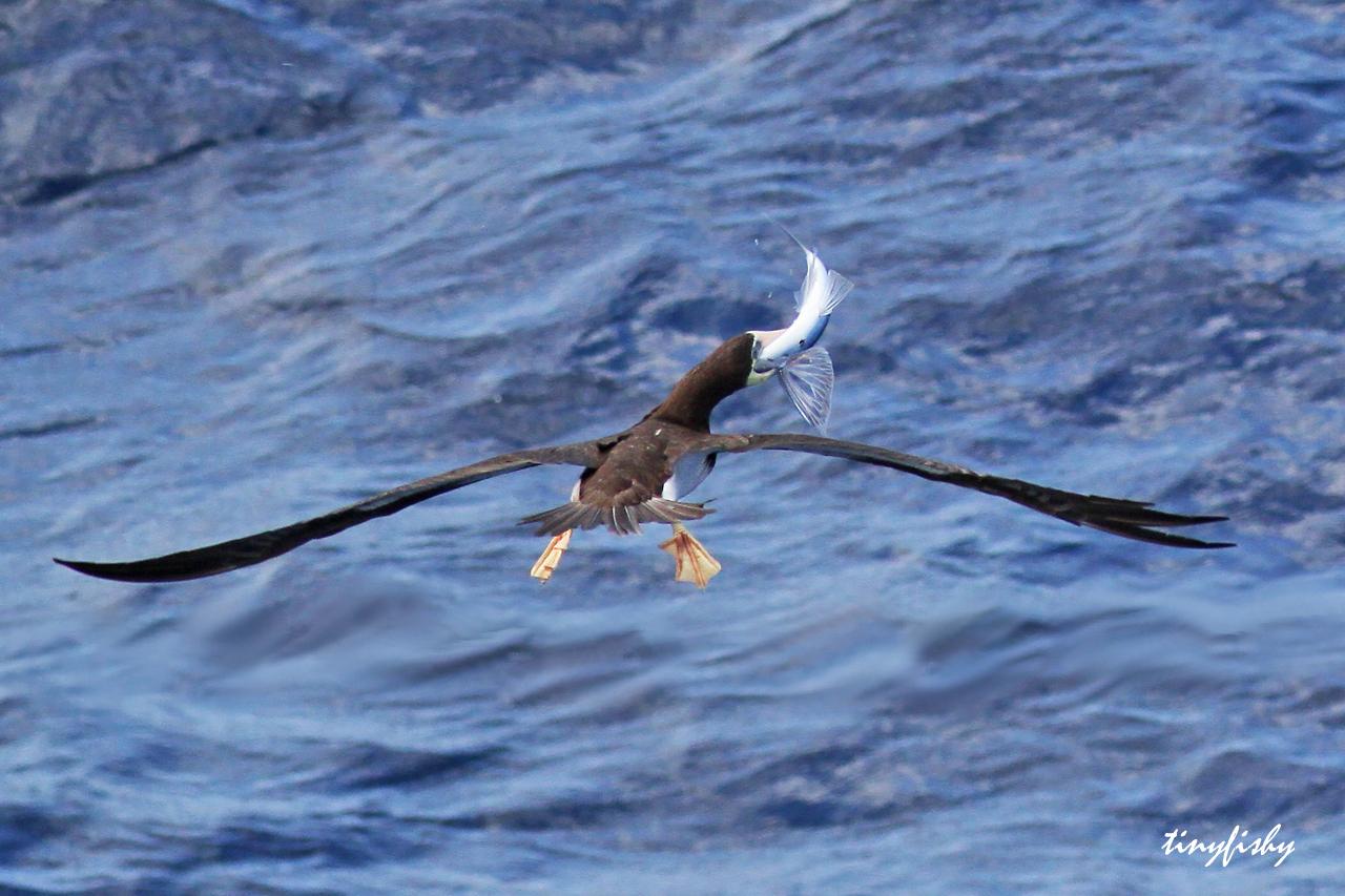 flying fish by cacodaemonia - photo #7