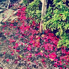 Fallen petals.