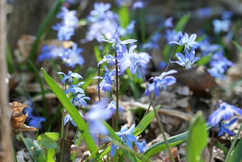 spring flowers 086