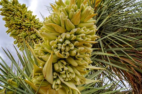 arizona desert joshuatrees hdrphoto mccrakenmine