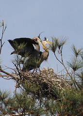 Great Blue Heron (nesting)