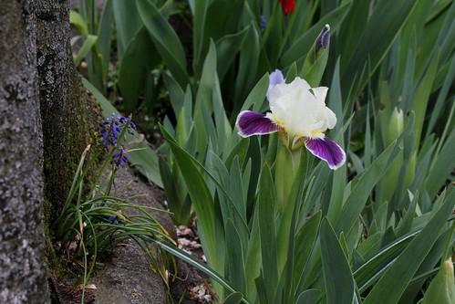 Iris 'Making Eyes'