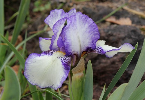 Iris 'Jenny Grace' - Bee Warburton 1977 8665604785_21069b934a