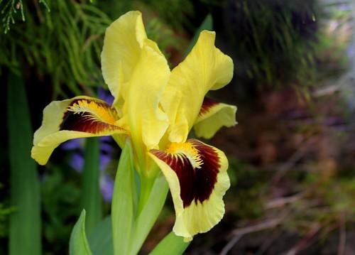 Iris nain Ritz