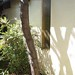Garden Inventory: Honey Locust - 03