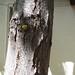 Garden Inventory: Honey Locust - 05