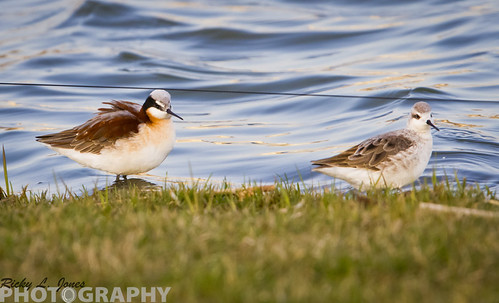 Wilson's Phalaropes by Ricky L. Jones Photography