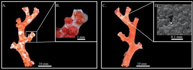 世界新種,珍貴紅珊瑚 (Corallium carusrubrum),採集自彭佳嶼周邊水深150公尺處。(圖片來源:鄭明修提供)