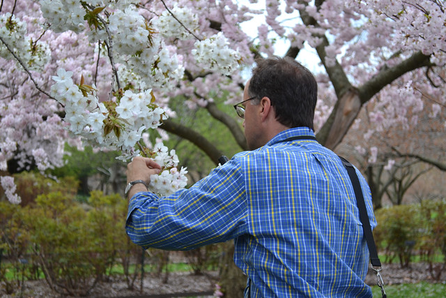 Aiello's visit will help BBG confirm the identification of most specimens in the Garden's collection of flowering cherry trees. In a few instances, updates to plant records, tags, and CherryWatch may be in order. Photo by Elizabeth Peters.