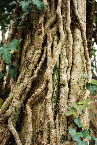 Twisted ivy stems