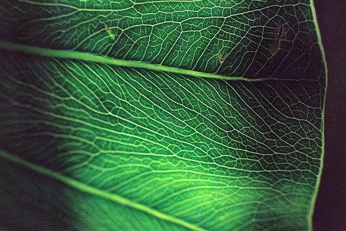 Leaf Veins @ Brooklyn Botanic Garden