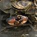 Stone Crab in Wakulla Beach