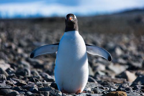 Gentoo Penguin @ Half Moon Island, Antarctica by X_Tan
