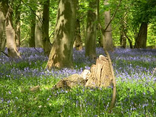 Bluebells, High Wood