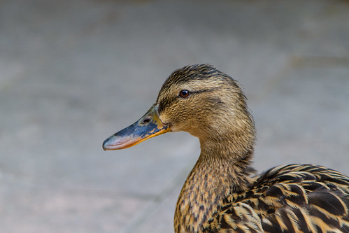 Duck by Davide Restivo