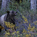 Kananaskis Grizzly...#9