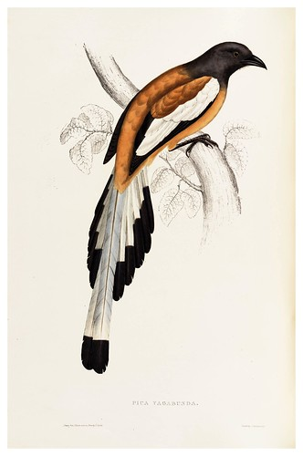 017-Pica Vagabunda-A Century of Birds from the Himalaya Mountains-John Gould y Wm. Hart-1875-1888-Science Naturalis