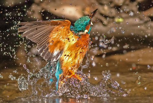 Kingfisher exiting  the water