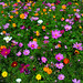 Cosmos Field by hpaich