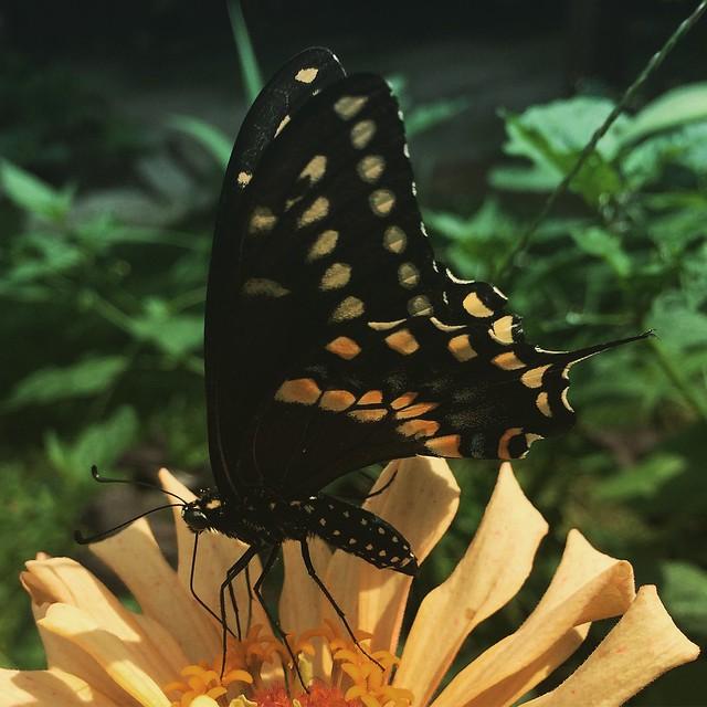 Black Swallowtail Butterfly #butterfly #butterflies #blackswallowtail #blackswallowtailbutterfly #gardens #patiogarden #zinnias #zinnia