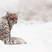 Fox in the snow by Roeselien Raimond