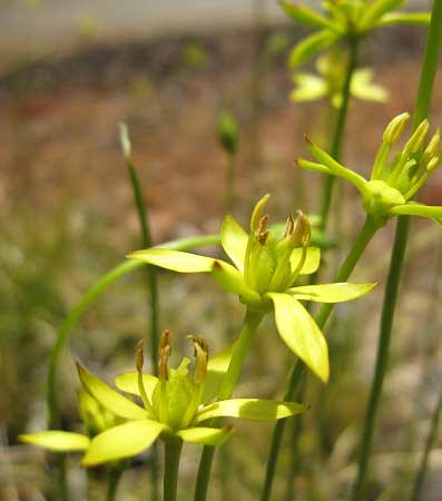 Harper's beauty is a perennial lily with a solitary yellow flower and iris-like leaves and is listed as federally endangered (U.S. Forest Service photo)