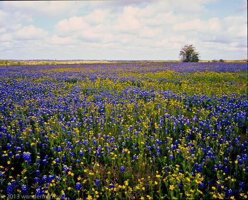 flower 120 mamiya film mediumformat geotagged texas bluebonnet wildflower filmscan texaswildflowers mamiya7ii austincounty geo:lat=2997198649366502 geo:lon=9652555942542676