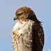 Young Red-tailed Hawk Perched by Steve Dale PA