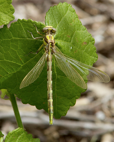 insect texas dragonfly clubtail gonzalescounty palmettosp