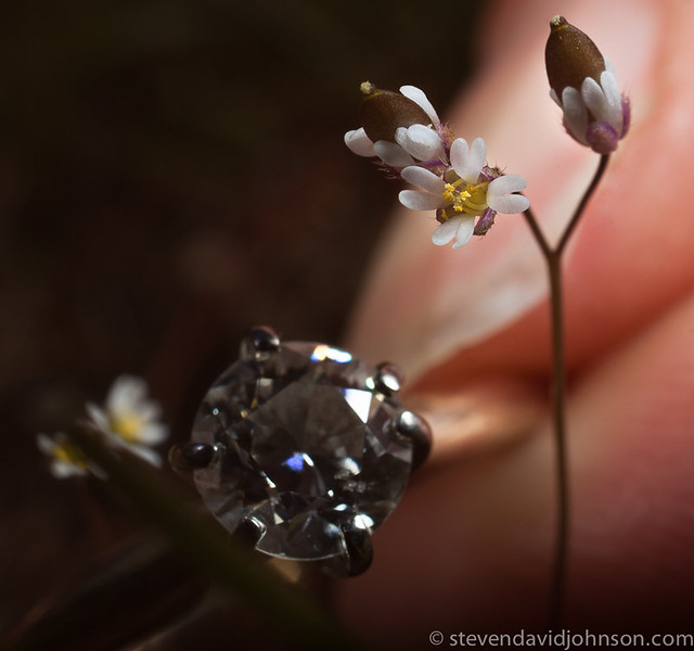 Tiny wildflower (Draba verna) with ring for scale, Lincoln, Oregon