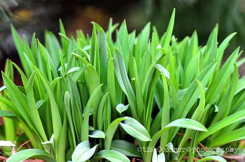 greendayliliesDSC_5335
