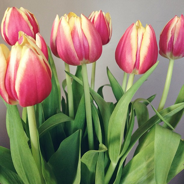 These beauties are straight up making my day right now... #flowers #tulips #spring