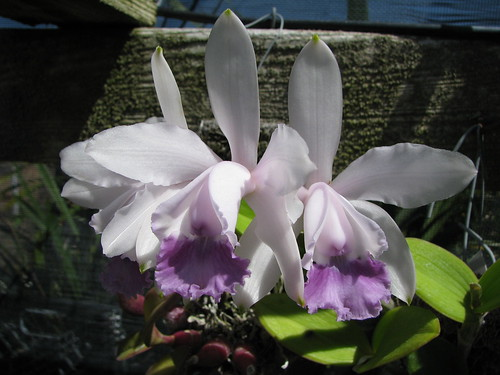 Cattleya intermedia by cieneguitan