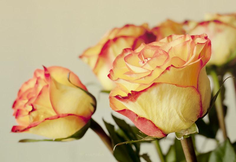 rosas , edición mint