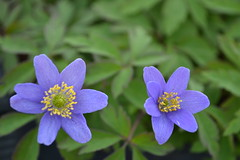 ANEMONE nemorosa 'Dee Day'
