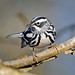 Black-and-White Warbler (Mniotilta varia) -  Basking Ridge, NJ by JFPescatore