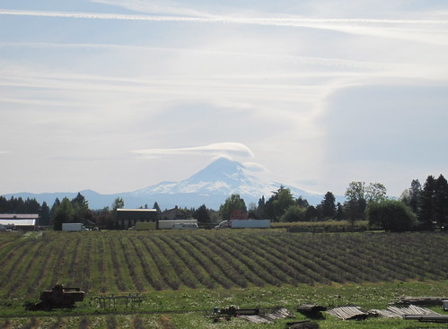 Mount Hood and a flock of lenticular clouds