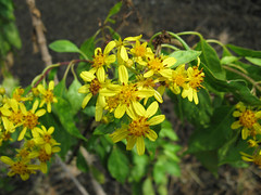 Bidens micrantha is one of 15 plants and animals that will receive ESA protection on the Big Island.