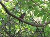 banded-broadbill1